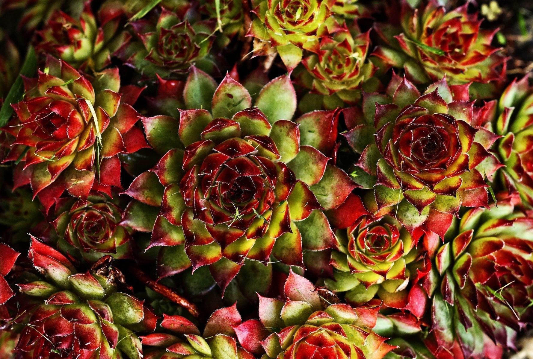 Plante grasse ou succulente pour d corer un jardin aride for Plante grasse couvre sol
